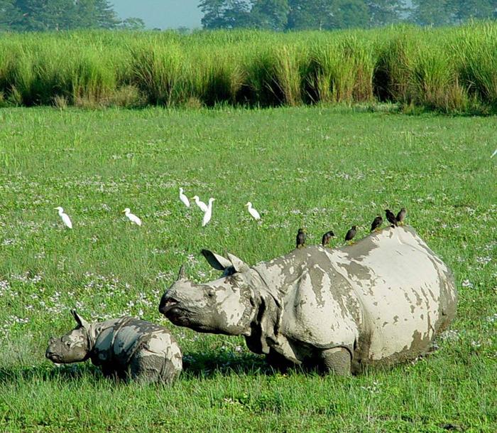 Kaziranga one horned rhinocerous