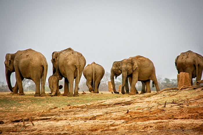 Wildlife - elephants