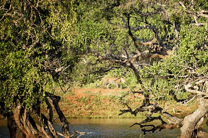 Leopard - wildlife
